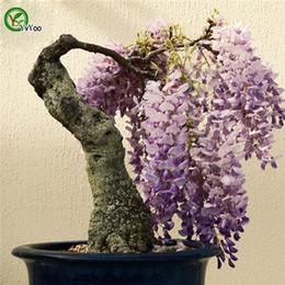 2019 semi di glicine Semi di glicine cinesi multicolor facoltativi Semi di bonsai cinesi Questo è il vero seme al 100% 5 pezzi W024 sconti semi di glicine