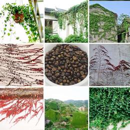 2019 semi d'edera Bestseller Ivy Climbing Perenne Piante Semi Giardino Novel Plants (Rosso Verde) Boston Ivy Seeds 100 Pieces sconti semi d'edera