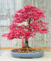 Semi di albero di acero rosso online-100% Real American Blood Red Maple Tree Seeds, 10 Seeds / Pack, Bonsai SOW ALL YEAR Piantagione Indoor o Outdoor