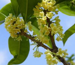 Wholesale Varieties Fragrance - Perennial Flower Tree Seed Osmanthus Fragrance flower seed varieties Design and color diversiform flowers thick 4 grain packag 3bags per lot