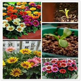 Wholesale Gazania Flower - Showy 20 Gazania Flower Seeds Butterflies Love Garden Decor