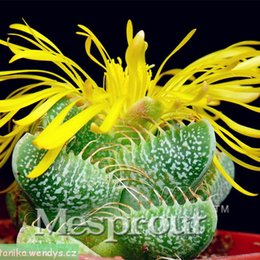 mini semi di verdure Sconti Best-Seller! Cactus Four Hyperion Seed Flowering Color Cactus Rare Cactus Seed Office mini pianta succulenta 100 PZ