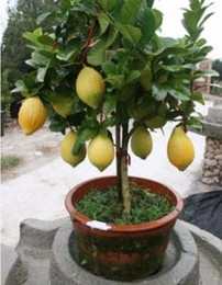 Semi di alberi rari online-Rare Dwarf Lemon Tree Seeds Bonsai Fruit Plant Organic Garden decorazione vegetale 10pcs E01