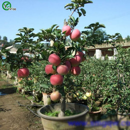 Semi di mele online-Contiene frutta vitaminizzata Apple Seeds Green Organic Vegetables and Fruit Seeds Delicious 30 Particles / lot V011