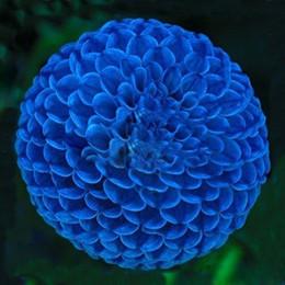 Semi fioriti unici online-100Pcs Unici Blue Fireball Dahlia Seeds Bellissimi semi di fiori Perenni Semi di Dalia