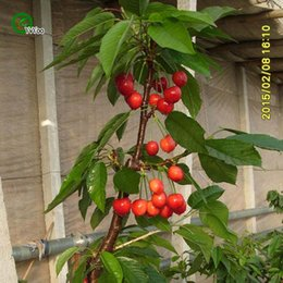 Wholesale Plant Cherry Seeds - Cherry Seeds Senior Courtyard Plants Delicious Fruit Seeds 30 Particles   lot y019
