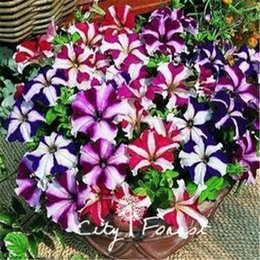 Wholesale Petunia Seeds - Stripe Petunia Flower 100 Pcs Seeds   Bag Mix Color Ideal Garden Flower for Flower Beds, Baskets and Containers , Bonsai