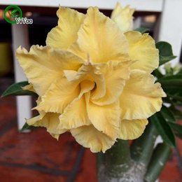 Wholesale Flower Germination - High germination rate Desert rose seeds Flower Pot Planters Garden Bonsai Flower Seed 1 Particles   lot b016