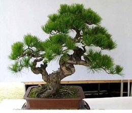 Wholesale Pine Bag - FREE SHIPPING 30pcs Bag Japanese Pine Tree Seeds bonsai flower easy to plant DIY