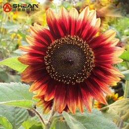 Wholesale Sunflower Seeds Wholesale - 50 Seeds bag Rare Ornamental Red Sunflower Seeds Organic Helianthus Annuus Seeds Gardening Flower Seeds Plant