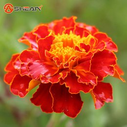 Wholesale Marigold Plants - Hot Red Maidenhair Seeds Flower Seeds Potted Herb Garden Marigold Bonsai Plant Seeds 50 Pieces   lot