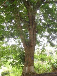 Wholesale China Rosewood - Wholesale - China scented rosewood(Dalbergia odorifera T.Chen) yellow rosewood Tree 25 seeds Free shipping