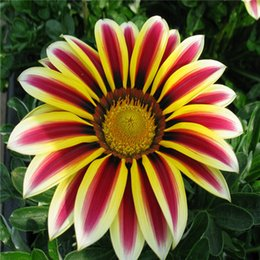 Wholesale Africa Flowers - Flower seeds Gazania rigens, potted flowers gazania seeds, sunflowers Africa,about 50 particles