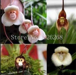 Semi di fauna di scimmia online-Semi di fiori bonsai scimmia faccia orchidea semi di fiori da giardino semi di fiori 20 pz