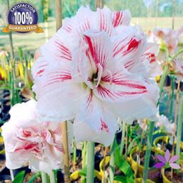 Graines d'amaryllis en Ligne-4 ampoules Amaryllis ampoules True Hippeastrum ampoules fleurs (pas graines) fleur