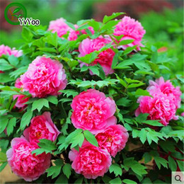Wholesale Peonies Seeds - Multi color optional Peony Seeds Flower Pot Planters Garden Bonsai Flower Seed 20 Particles   lot H028