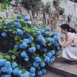 ortensia bonsai Sconti 2016 hot bella ortensia semi di fiori semi di piante bonsai da interno 30 particelle / lotto a013