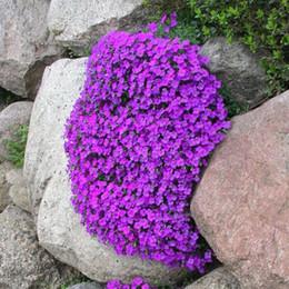 piante di fiori di parete Sconti Rock Cress Aubrietia Flower 100 Pz Seeds Facile da coltivare, ottima copertura del terreno, pianta da giardino roccioso o ornamentale a cascata sui muri.