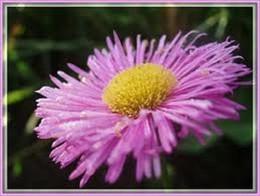 Wholesale Tree Jewel - 50+seeds pack ERIGERON PINK JEWEL PERENNIAL FLOWER SEEDS DROUGHT TOLERANT FLEA REPELLANT