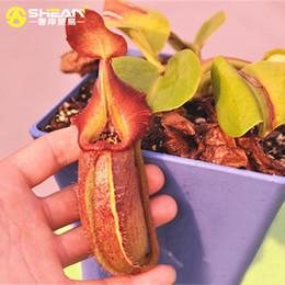 2019 semillas frescas de arbol Un Paquete de 100 Unids Nepenthes Mira Semillas Balcón Patio Jardín Macetas Bonsai Plantas Semillas Plantas Carnívoras Semillas