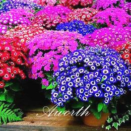 2019 sementes de flores podem Cineraria 100 Pcs Sementes De Flores / Saco Mix Cor as flores mais bonitas, de baixo crescimento que você pode cultivar a partir de sementes de flores sementes de flores podem barato