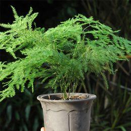 Semi di asparagi online-Pianta da balcone semi di felce di asparagi EVERGREEN CASA PIANTA VASO PERENNIAL BONSAI decorazione del giardino pianta 6 pz C03