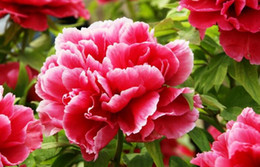 Wholesale Peonies Seeds - .Chinese Blue Green White Black Pink Red Peony Flower Seeds  1 Pack 65 Seeds 6 Color Total 10 Seeds