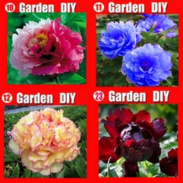 Wholesale Peony Seeds Pink - Wholesale - 80 seeds China's Peony Seed Paeonia suffruticosa Tree 4 kinds Pink flower etc. Separate,you will get 4 bags Free shipping