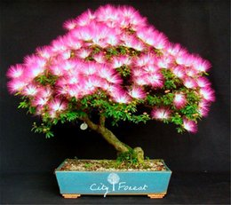 tree flowers Promo Codes - 50 Albizia julibrissin Mimosa Silk Tree Flower Seeds DIY Home Garden Bonsai Tree Seeds
