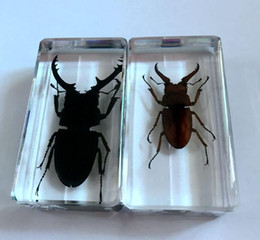 Wholesale Beetles Collection - free shipping 2 Pcs Collection Stag Beetle Insect Taxidermy Magic Crafts