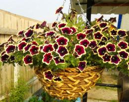 Wholesale Dark Seeds - 200PCS Cascadia Rim Magenta Petunia seeds Dark Purple Blooms With Cream Edge Flower Seeds For Home Bonsai Plants for Decoration
