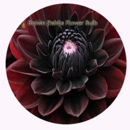 Wholesale Flower Dahlias - 8pcs a set Brown Dahlia Flower Bulb Hot Rare Bulb Great Quality Great Service Great Price