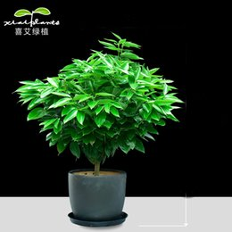 Wholesale Bonsai Christmas - 20pcs Christmas tree seeds potted large pots of plants bonsai garden plants in the office room Cipen air purification formaldehyde absorbing