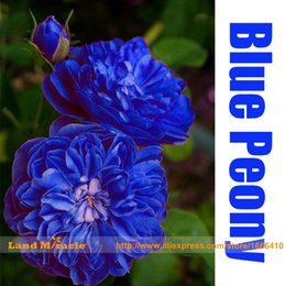 Wholesale Peonies Seeds - Double Light Blue Tree Peony Seeds, 'Noble' Rare Peony Tree Plant, 5Seeds Pack, Strong Fragrant Garden Subshrubby Peony
