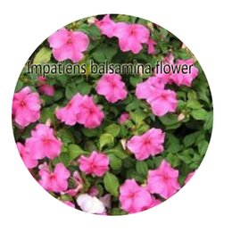 Wholesale Impatiens Flower - 500pcs a set Impatiens balsamina flower Seed Hot Rare Seed Great Quality Great Service Great Price For You Life Is A Journey