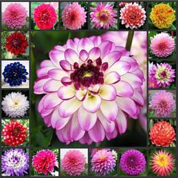 Bitki bahçe dahlias tohumları DIY Ev Bahçe Için-Dahlias 10 adet / grup cheap dahlias seeds nereden dahlias tohumları tedarikçiler