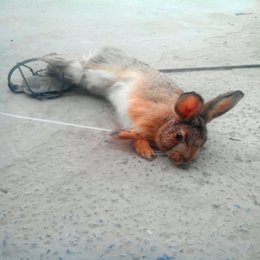 Wholesale Spring Trap - Wholesale-Leg hold rabbit trap 180mm 7.0 Inch with strong spring power