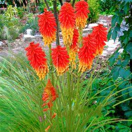 2019 lírio, flor, sementes Kniphofia Torch Lírio Flor Red Hot Poker Flor 50 Sementes Fácil de Crescer Excelente Flor Perene Paisagem lírio, flor, sementes barato