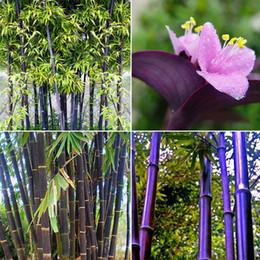 rosa rara olandese Sconti Commercio all'ingrosso - RARO Bamboo viola, bambù nero Timor Bambusa Lako - 50 semi vitali Spedizione gratuita