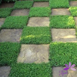 Wholesale 200Pcs Herniaria Glabra Seeds Ground Cover Green Carpet Grow in Poor Soil