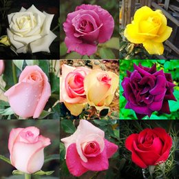 Wholesale Rose Garden Colors - New Varieties 10 Colors Rose Flower Seeds 100 Seeds Per Package Wedding Flower Seeds For Home Garden