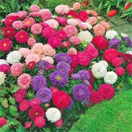 Semillas de aster online-200 PCS / BAG aster semillas aster flor bonsai semillas de flores arco iris semillas de crisantemo flores perennes planta de jardín