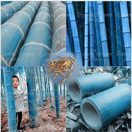 Wholesale Herb Planters - fast shipping rare blue bamboo seeds, decorative garden, herb planter bambu tree seeds for diy home garden send gift