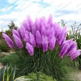 Semi di pampas online-Vendita all'ingrossoNew 500 Purple Pampas Grass Seeds Piante ornamentali Cortaderia Selloana Grassplant bonsai