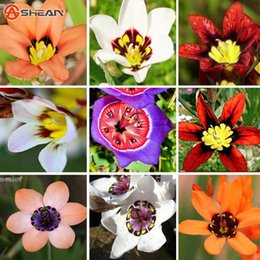 Wholesale Orange Rose Seeds - 15 Color Available Wand Flower Seeds Balcony Pot Sparaxis Flowers Seeds for Patio Blue Pink White Orange Rose a Pack 50 Pcs