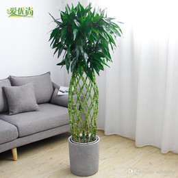 Wholesale Indoor Potted Trees - 20pcs bamboo bamboo cage seed pot plants large office room indoor air cleaning plant bonsai decorative flower seeds