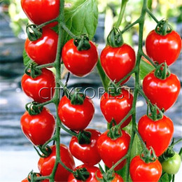 Wholesale Tomato Seeds Wholesale - 50 Red Cherry Tomato Non-GMO Vegetable Seeds Easy to Grow DIY Home Garden Bonsai Vegetable Juicy Sweet High Yield