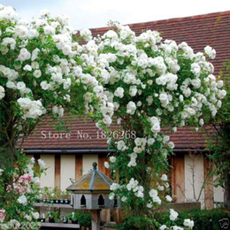 Semilla rosa online-Mix Climbing Rose Seeds Bonsai Balcony Flower Potted Seeds DIY Home Garden 50 Partículas / lote P012
