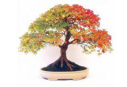bonsai di acero rosso giapponese Sconti 30 Mini Bella giapponese acero rosso semi di bonsai, fai da te bonsai * spedizione gratuita germoglio tasso 90% semi di albero