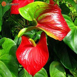 Vendita all'ingrosso Anticum Andraeanum Seeds Indoor Potted Flowers Red Anthurium Plant Seedsplant bonsai da